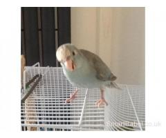 Hand tame,hand reared blue Kakarikis,excellent pet