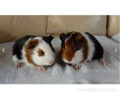 Baby Smooth Coat Male Guinea Pigs For Sale